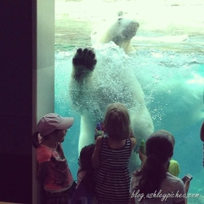 Toledo Zoo with Raising Lifelong Learners - Polar Bear | Learning with #ZooApologia at the Zoo | blog.ashleypichea.com
